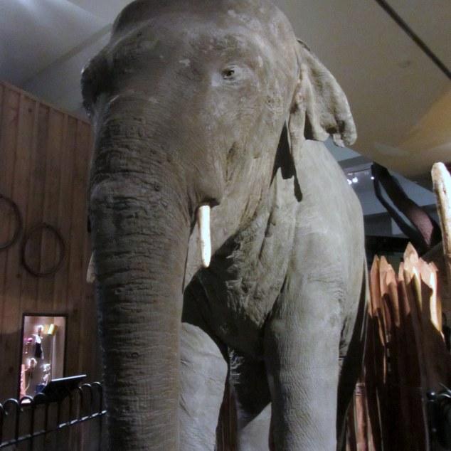 Rajah, Auckland Zoo's wayward elephant