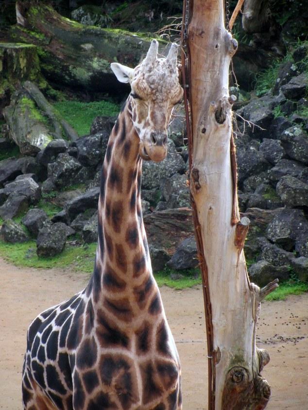World Giraffe Day at Auckland Zoo