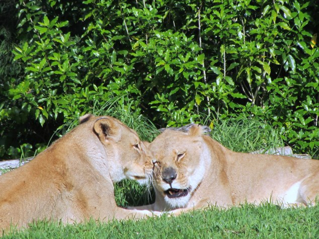 Lions, Auckland Zoo