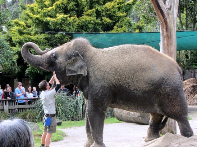 Burma during Animal Encounter, Auckland Zoo