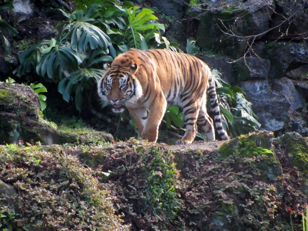 Tiger during Animal Encounter, Auckland Zoo