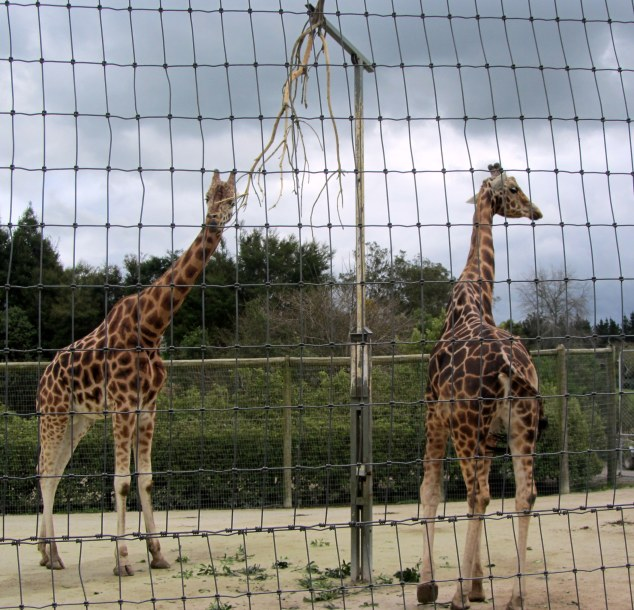 Giraffes at Hamilton Zoo