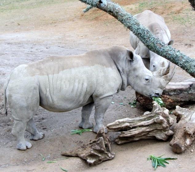Southern white rhinos feeding
