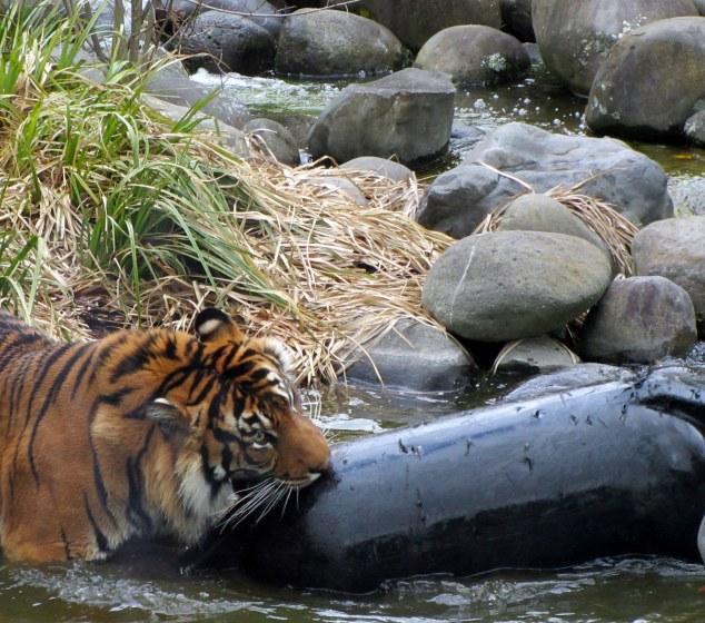 Sumatran Tiger playing in the water
