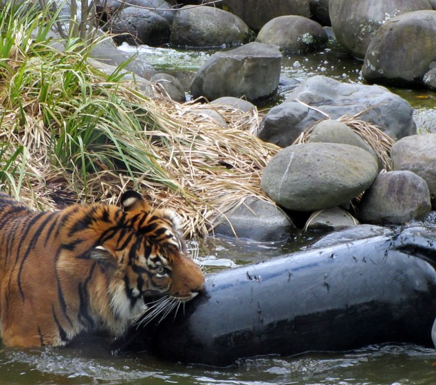 Sumatran Tiger playing in the water