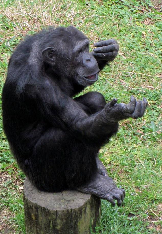 Chimp waiting for food