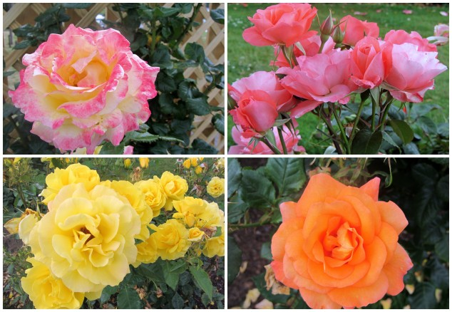 Taupo Rose Garden